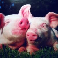 deux cochons